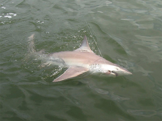 Amelia Island Shark Fishing